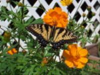 Swallowtail butterfly and yellow Cosmos